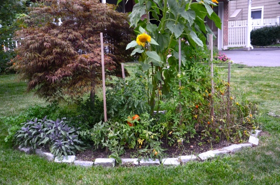 I realize that it looks a little silly for my sunflowers to tower over the Japanese maple tree.