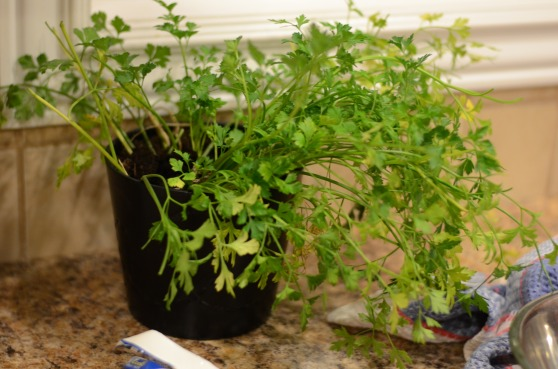 I transplanted one of my outdoor parsley plants to an indoor pot in the hopes it could produce for me in the winter.  It hasn't been looking great!